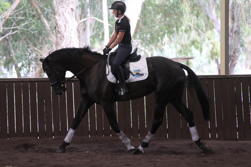 Dressage mare: Big  Black  Beautiful  with Breeding to dream of