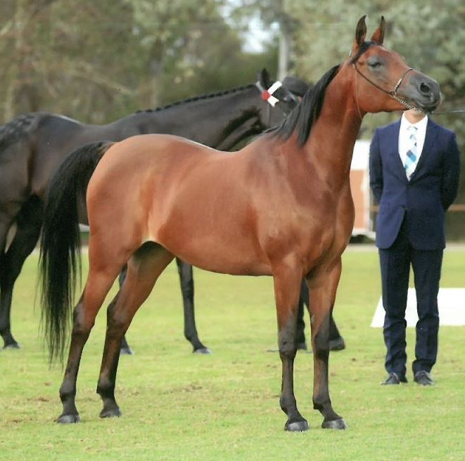 Pure Straight Egyptian mare by Anaza Bay Shahh