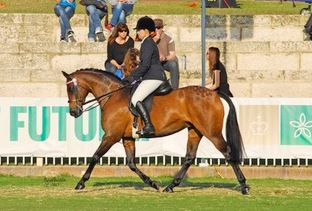 Versitile show quality allrounder / Adult rider