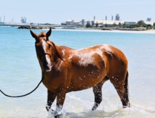 Quiet nicely bred QH mare