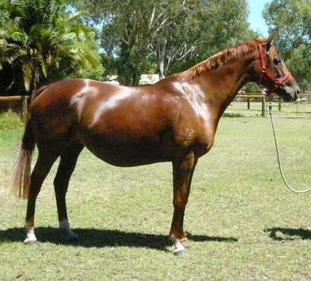 GRP x TB Palomino mare by Golden Rock