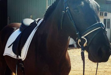 Friesan Warmblood (50%) 15.2h, 9 year old mare. Dressage, liberty, trails