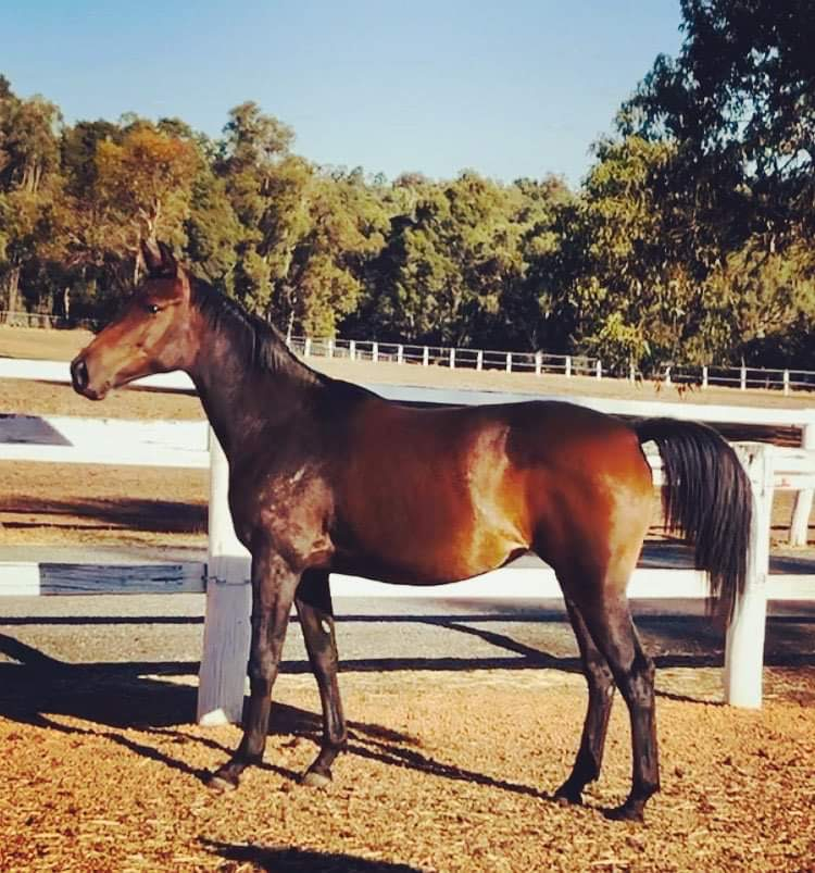 WB Filly with imp sire for sale