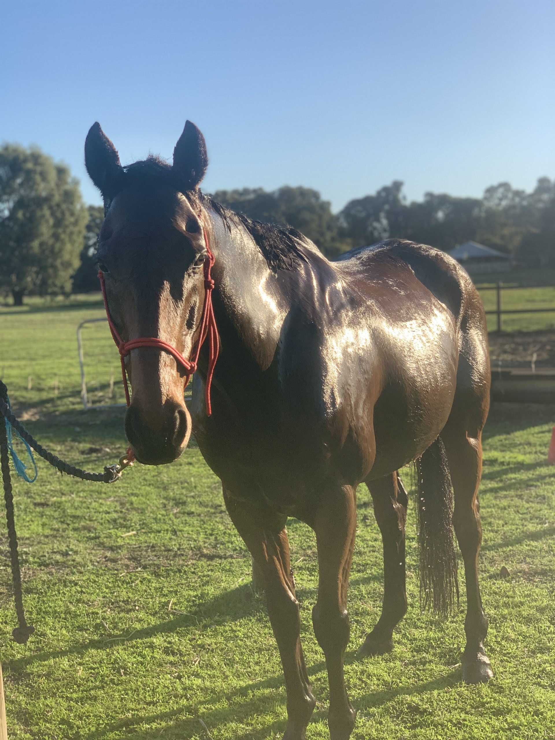 Dressage/show horse and low level SJ TB