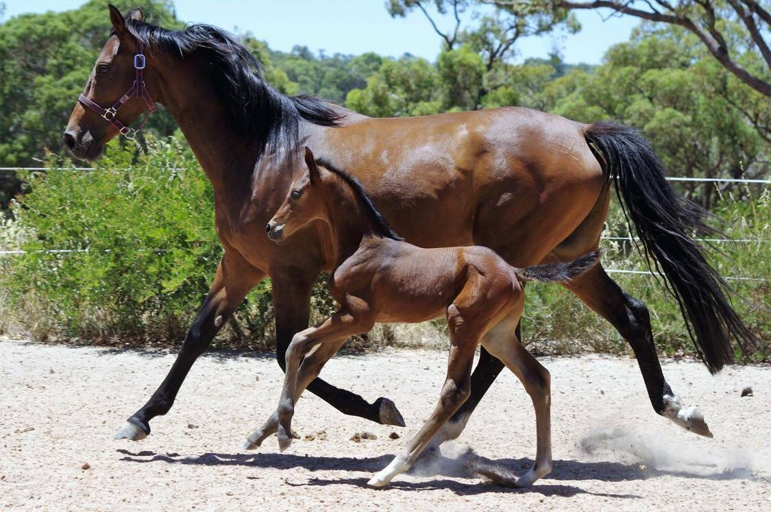 Hannoverian Stallion – sire of numerous performance horses & ponies