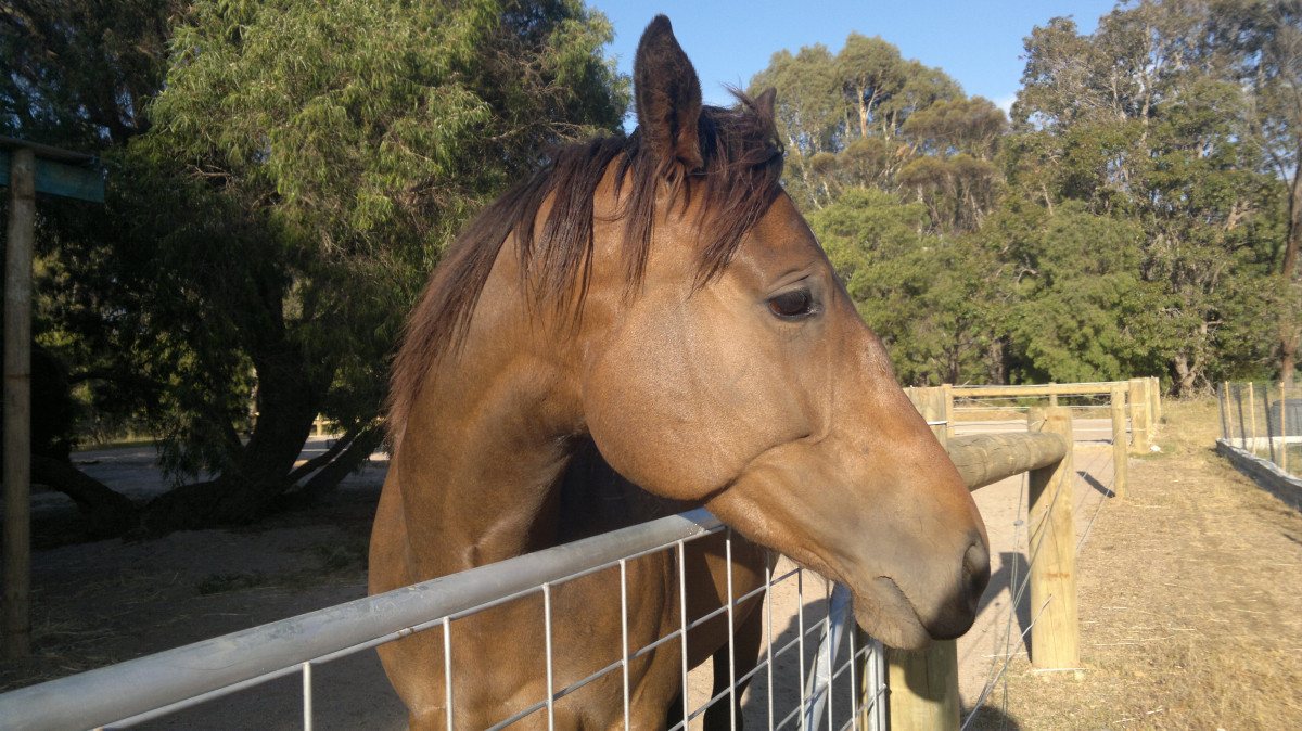 4 yo mare 15.2 hands, beautiful and gentle