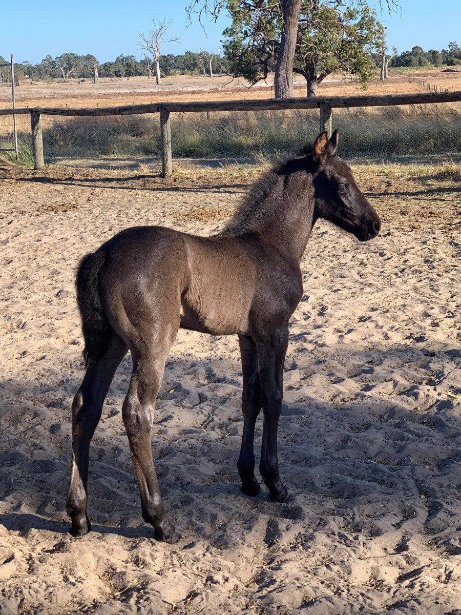 Stunning Highland x Andalusian/TB foal