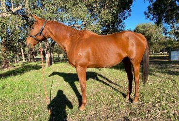 Ex race horse- free to a good home