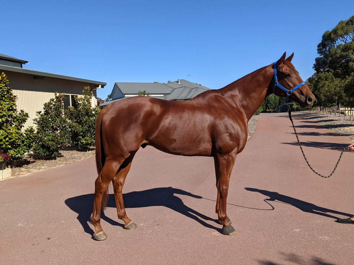 Potential Plus Thoroughbred