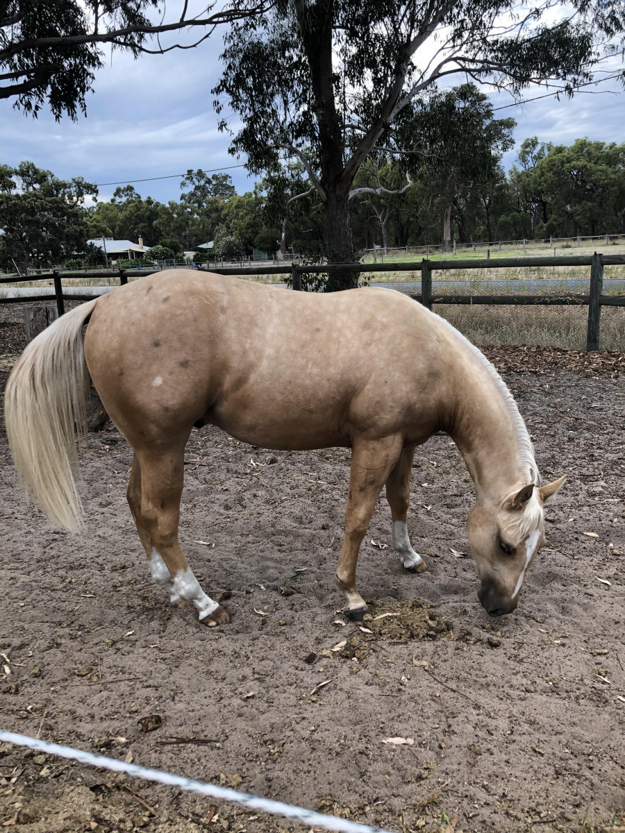 Beautifully put together show quality palomino gelding