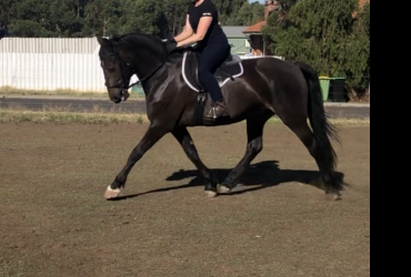 Commander 4yo Friesian x Clydesdale
