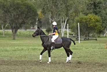Experienced polocrosse mare